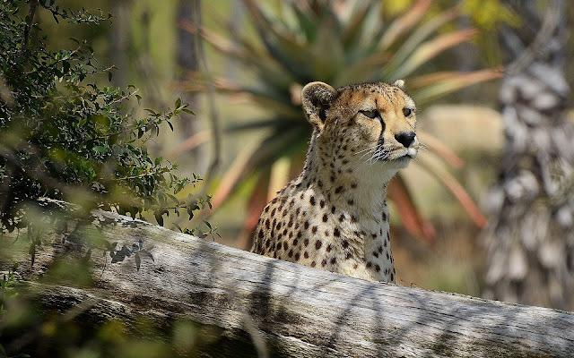 Guepardo Imágenes de Animales HD