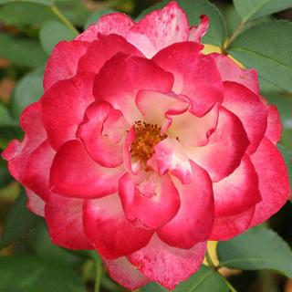 Rosa europea roja