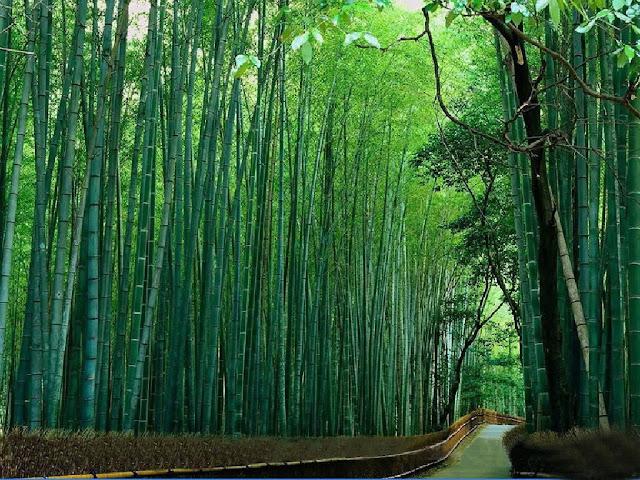 Bamboo Nature3