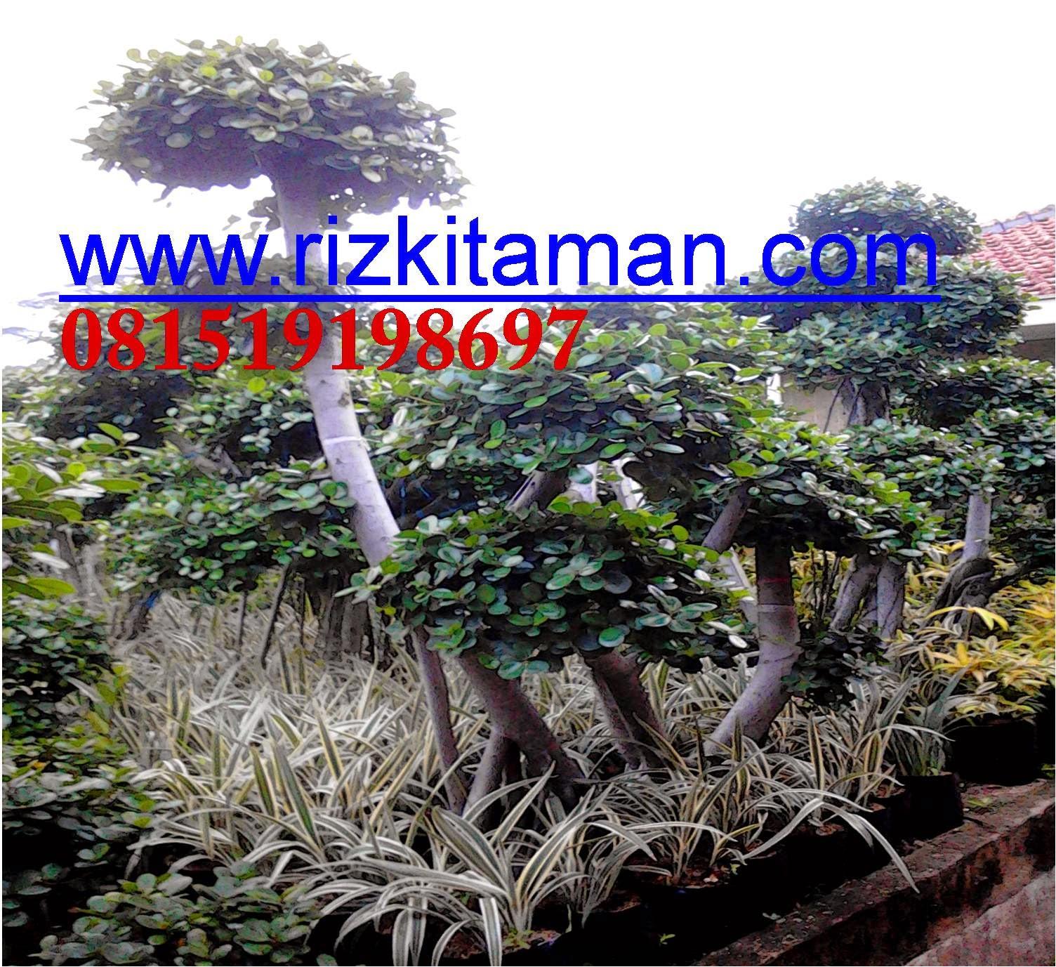 Jual bonsai beringin korea murah | suplier tanaman bonsai dan bunga