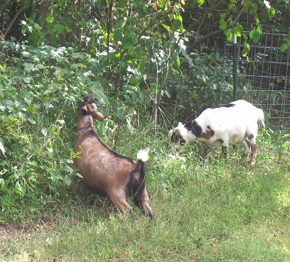 effects of goats on a pasture