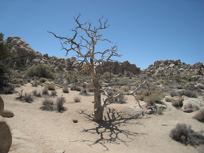 Craggly tree Joshua Tree National Park