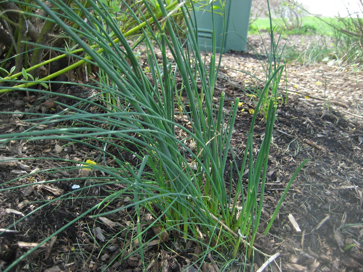 http://plantscience.psu.edu/research/centers/turf/extension/plant-id/grasses/wild-onion-1/wild-onion-2/view