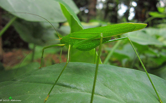 Green Katydid