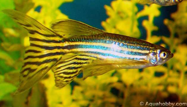 JJS Peixes Ornamentais: Peixes de agua doce.