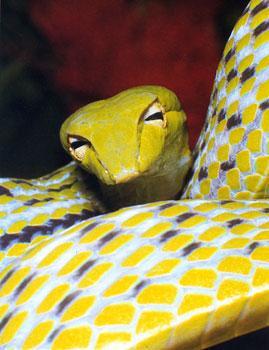 vine_snake - بالصور .. أكثر أنواع الأفاعي غرابة فى العالم