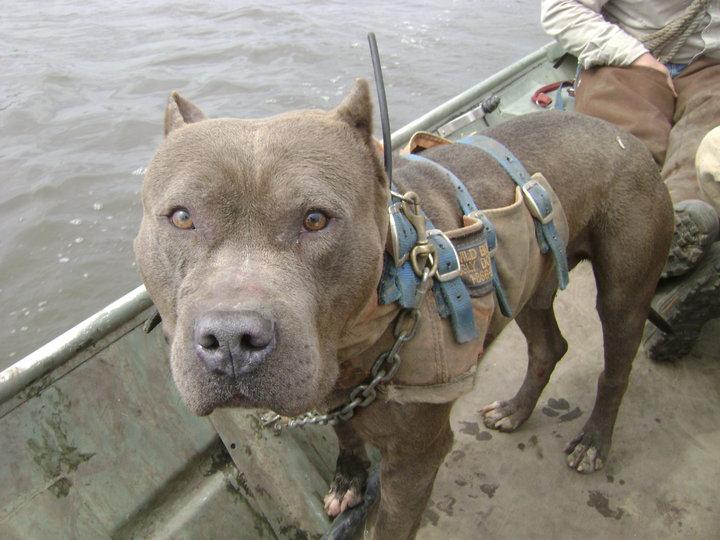 Hunting Dog That Looks Like A Pitbull