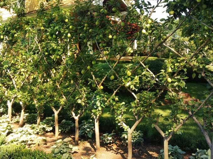 Frutales en espaldera para jardines peque os for Arboles frutales para jardin