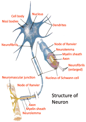 picture of structure of neurons