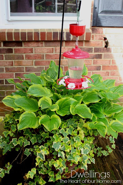 Hummingbird feeder in a pot of hosta and ivy