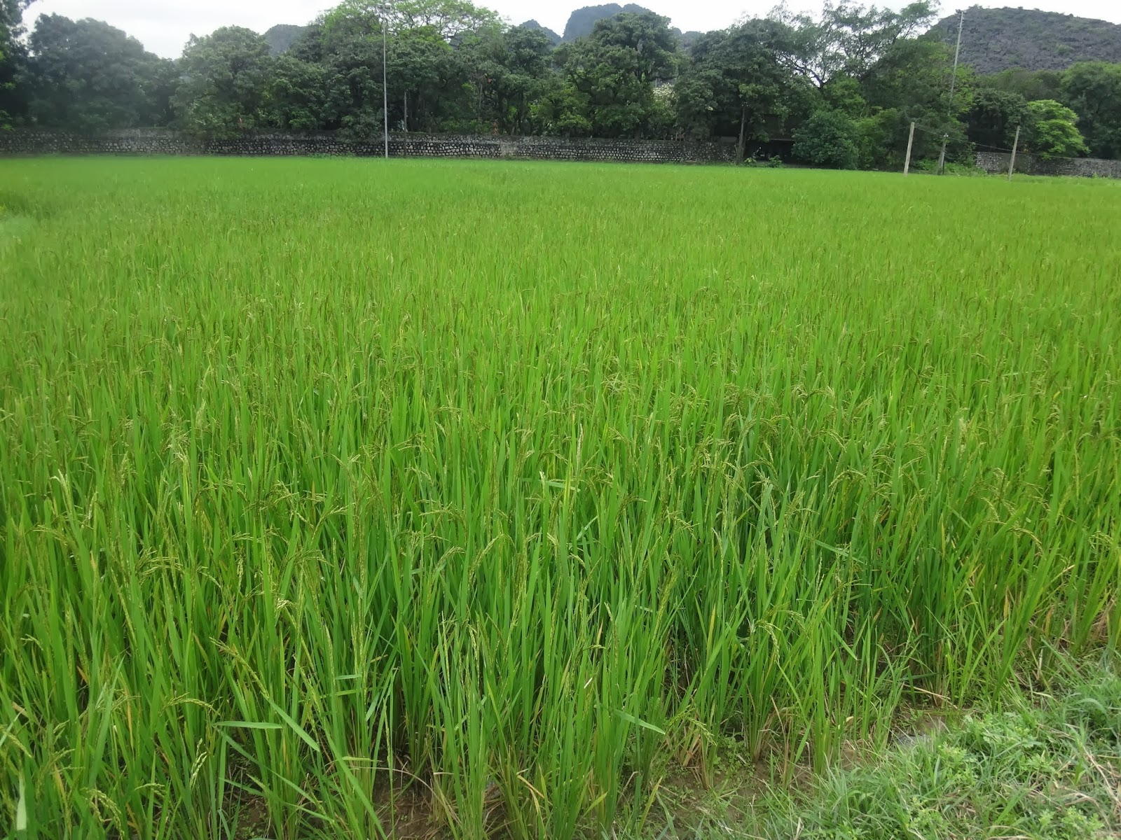 Greenary paddy field can be seen around Hou Lu capital in Vietnam