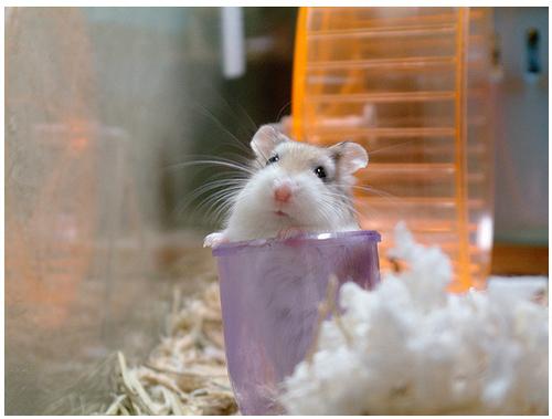 foto hamster