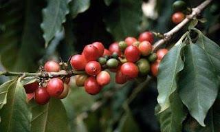 manfaat daun kopi