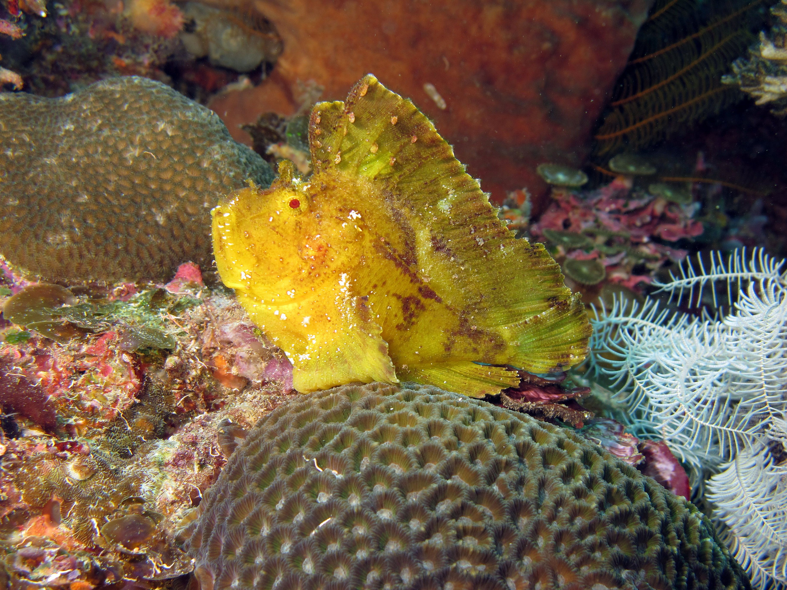 leaf scorpionfish-#8