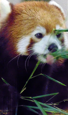 Red Haired Panda