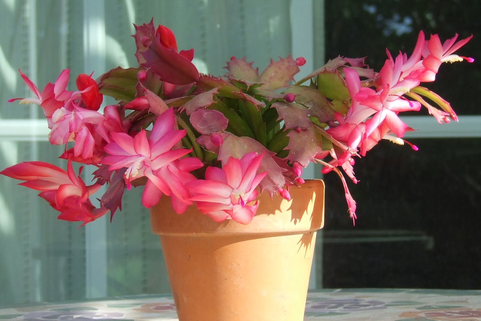 Flower Schlumbergera home care, reproduction and photo 33