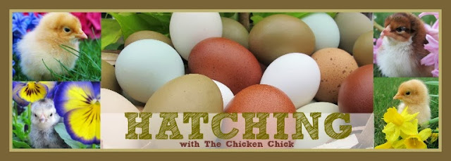 Hatching eggs with The Chicken Chick