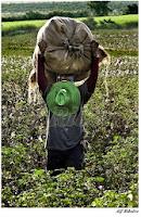 Homem no meio de uma grande plantação sorri alegremente enquanto apóia uma imensa trouxa com o algodão por ele recém-colhido. Um camponês de trajes simples, mas destaca-se um grande chapéu de palha verde-alface dependurado sobre o peito.