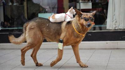 Foto seekor kucing 'mengendarai' anjing di China