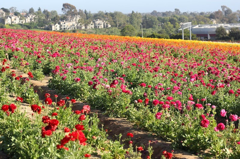 Carlsbad Flower Fields Current Habits