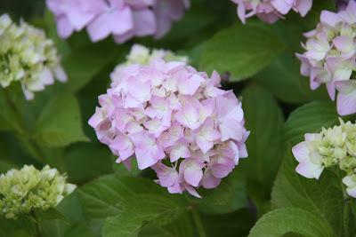 jual bunga rotensia