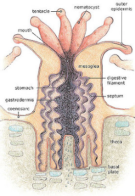 Anatomy of a coral polyp