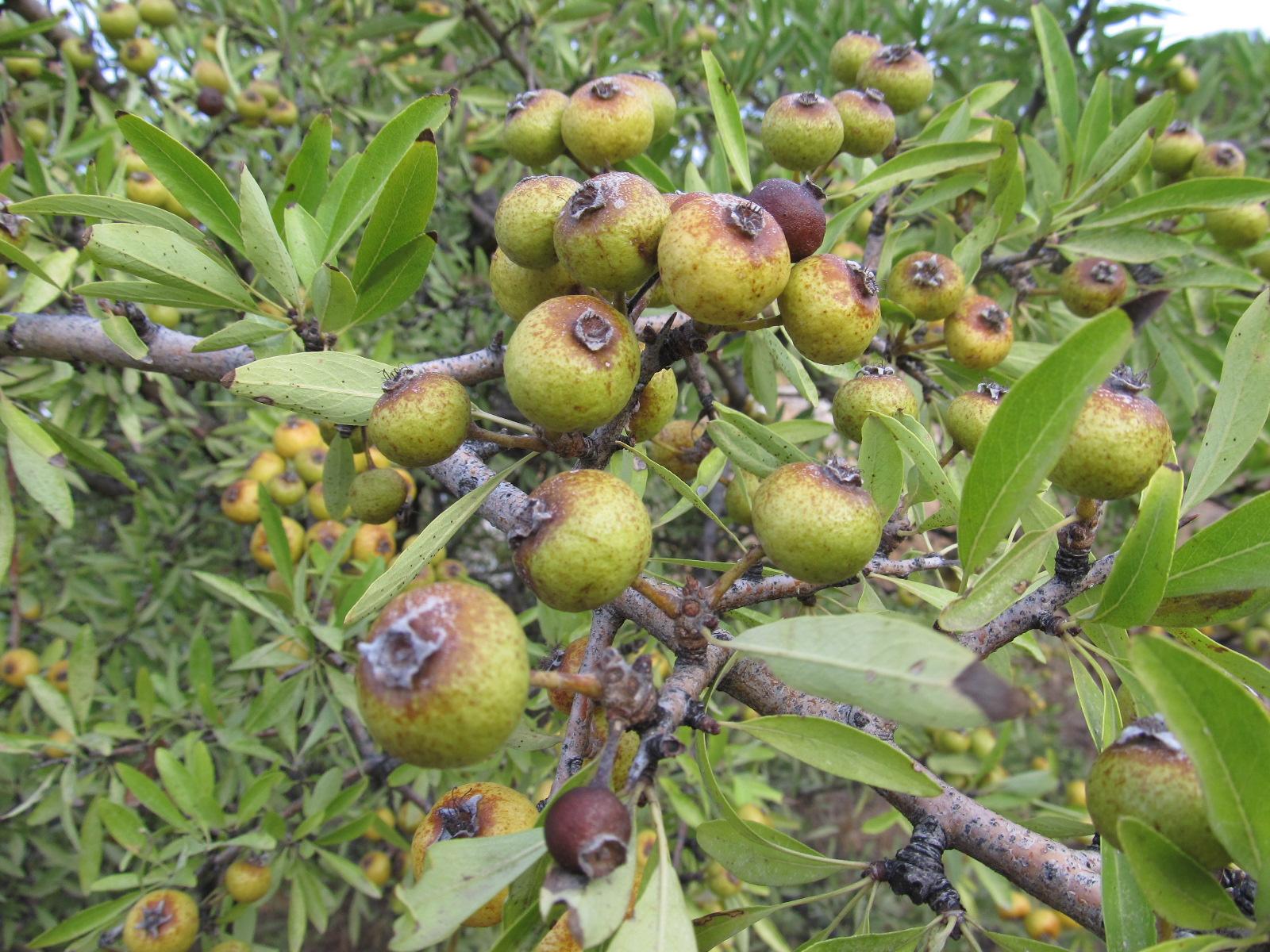 Ahlat ağacı ve meyveleri yaban hayatı için bu ağaçların yok