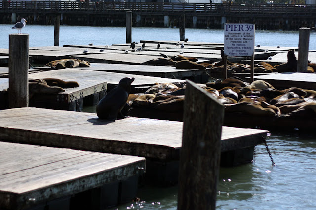 pier 39 san francisco seals sea lions