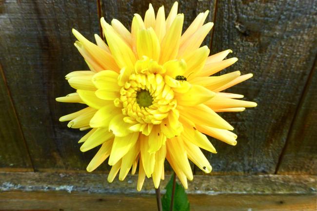 dahlia, cactus dahlia, yellow dahlia, garden