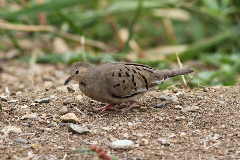 Ecuadorian ground dove Columbina buckleyi