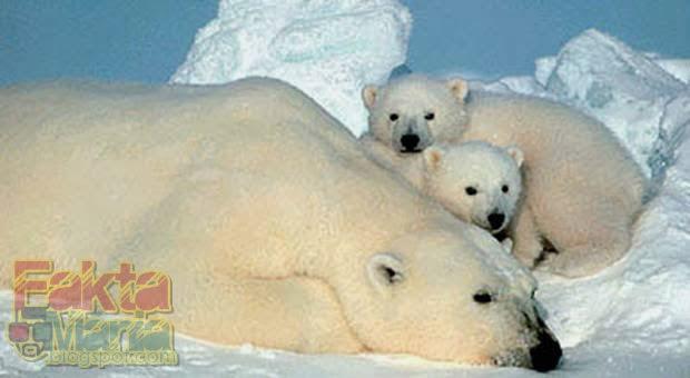 5 Hewan Kutub yang Akan Berubah Warna Ketika Musim Dingin Tiba