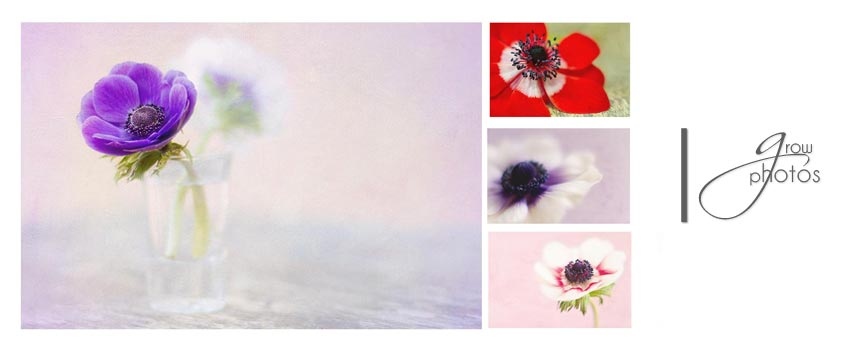 anemone collection by Rosie Nixon leavesnbloom fine art and photography