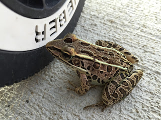 southern or northern leopard frog