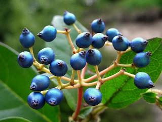 ... O Laurotino, Arbusto Sempreverde Di Grandi Dimensioni Con Foglie  Coriacee Verde Lucido, Una Profusione Di Boccioli Rosa Intenso Invernali,  Fioritura ...