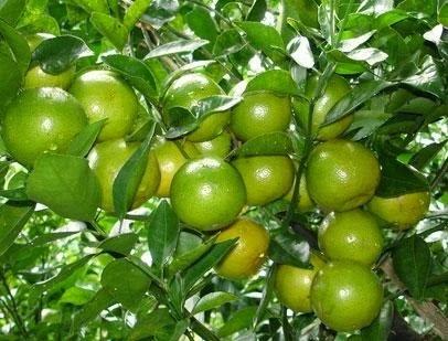 Giống cây ăn quả
