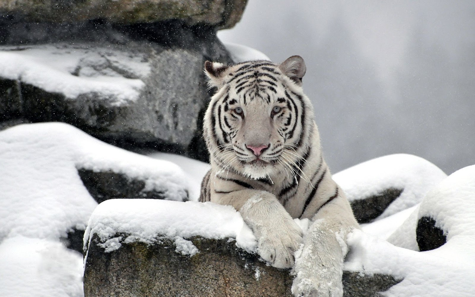 White Tiger In Snow Wallpaper Hd