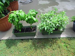 Gardening with Bobbins of Basil