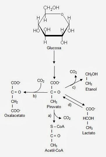 Caminos del piruvato | Apuntes de Bioquímica