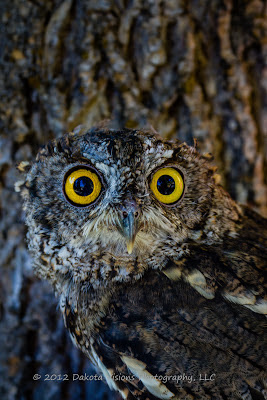 Birds of Prey Western Screech Owl by Dakota Visions Photography LLC Black Hills Megascops kennicottii Photo Shootout Boo