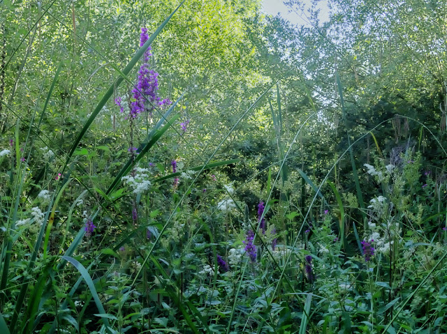 Purple Loosestrife and meadow sweet on banks of inlet
