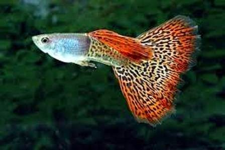 The Guppy as Cool Freshwater Fish Pets - Freshwater Fish