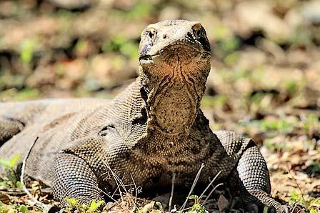 Mengenal Komodo di Pulau Komodo