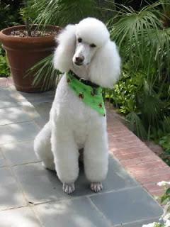 poodle dog puppy breeds hound chien hund perro canine animals domestics maskotak pets Haustiere huisdieren animaux de compagnie husdjur info