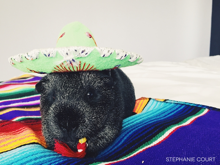 guinea pig cinco de mayo photos