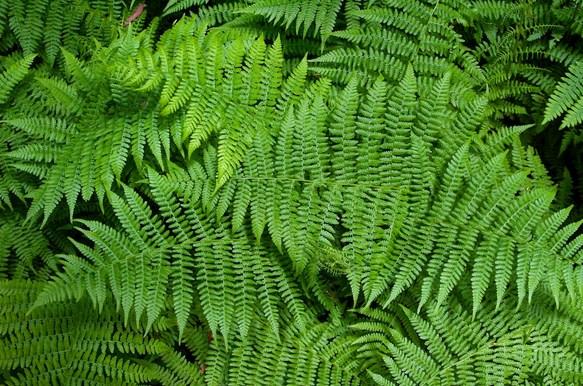 Pengertian, Ciri dan Klasifikasi Tumbuhan Paku