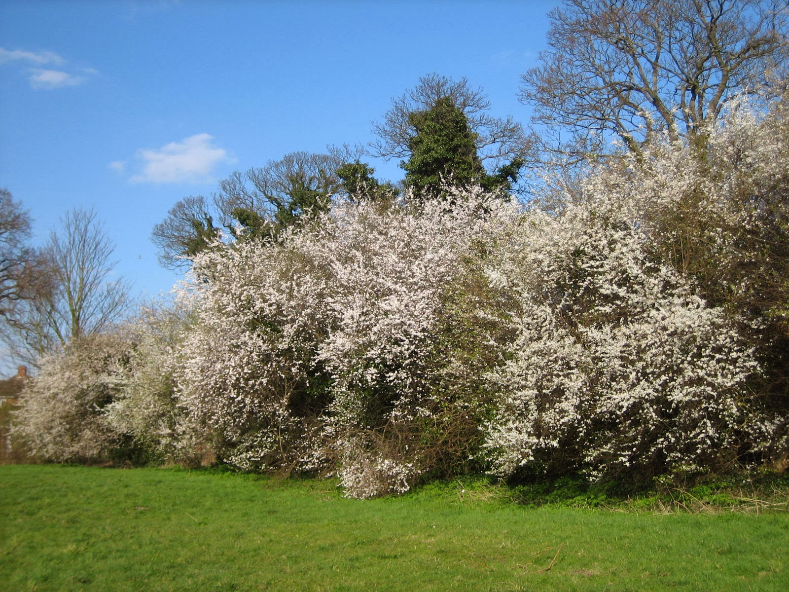 blackthorn tree - photo #11