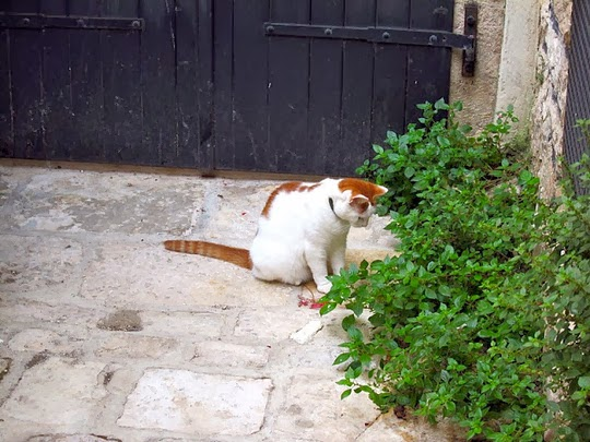 cat of rovinj