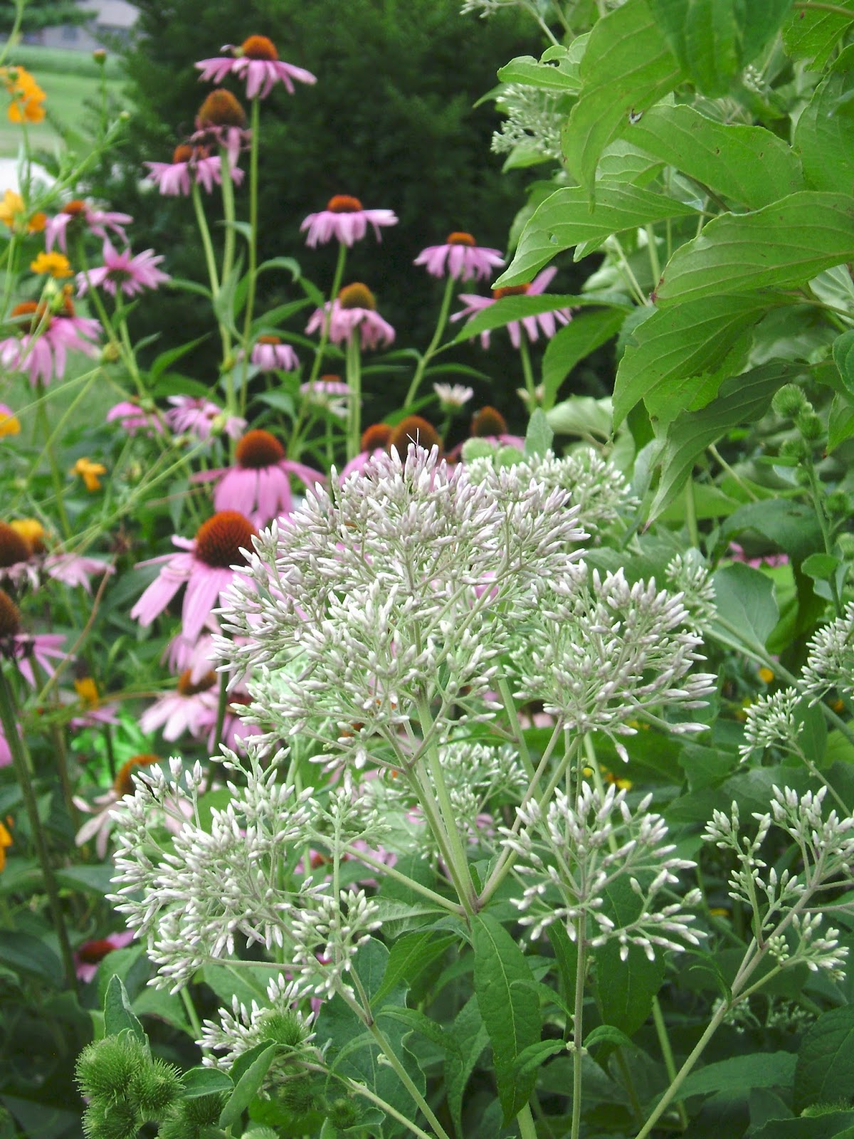 Prairie rose 39 s garden wildflower wednesday no ordinary joe for Joe pye weed
