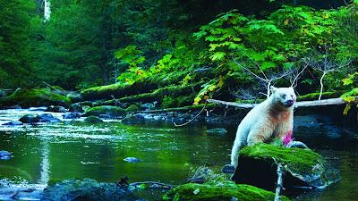 Oso saliendo del río despues de haber comido a su presa
