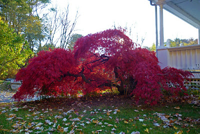 Deep red leaves on a Japanese laceleaf maple tree